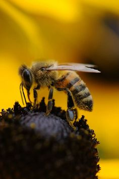 Tilt Shift Lens Photography of Yellow and Black Bee · Free Stock Photo Yellow Photography, Nature Photography, Yellow Spring Flowers, Bee Pictures, Bee Friendly, Bee Pollen, Organic Gardening Tips, Bee Keeping, Habitats