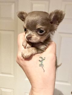 Tiny Puppies, Teacup Puppies, Cute Puppies, Cute Chihuahua, Chihuahua Puppies, Yorkie, Cute Baby Animals, Funny Animals, Puppy Care