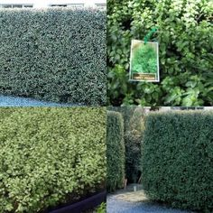 Pittosporum Silver Sheen Plants x 20 Fast Hedge Garden Shrub Pittosporum tenuifolium Garden Nursery, Plant Nursery, Hedging Plants, Garden Plants, Beach Gardens, Outdoor Gardens, Pittosporum Silver Sheen, Garden Hedges, Fence Landscaping