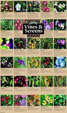Climbing plants and vines for growing on screens and trellis- living fence #gardenvinesplants #gardenvinestrellis #gardenvinesfence