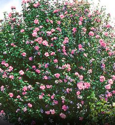 Rose of Sharon Hibiscus syriacus Great as Flowering Hedge White, Pink, Red, and Violet Colored Flowers This Shrub Requires Little Pruning Grows to 8' to 12' tall with 6' to 10' spread Zones 5 to 9