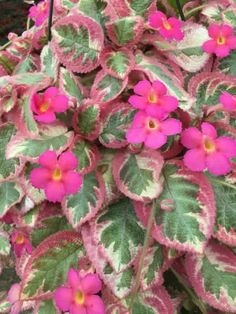Garden Trees, Garden Plants, Indoor Plants, House Plants, Beautiful Flowers Garden, All Flowers, Amazing Flowers, Violet Plant, Pink Plant