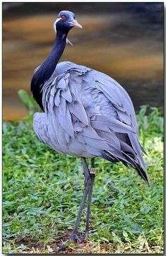 The Demoiselle Crane is a species of crane found in central Eurasia, ranging from the Black Sea to Mongolia and North Eastern China. There is also a small breeding population in Turkey. These cranes are migratory birds. Rare Birds, Exotic Birds, Colorful Birds, Yellow Birds, Purple Bird, Pretty Birds, Beautiful Birds, Animals Beautiful, Kinds Of Birds