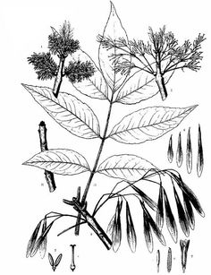 Illustrations of Common Eastern United States Trees - Charles Sprague Sargent : Illustration of Green Ash - Charles Sprague Sargent Tree Leaf Plate Tree Illustration, Botanical Illustration, Tree Leaf Identification, Seed Tattoo, Green Ash, Tree Seeds, Tree Leaves, Skin Art, Botany
