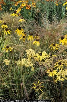 Echinacea 'Mellow Yellow' with Achillea and Grasses