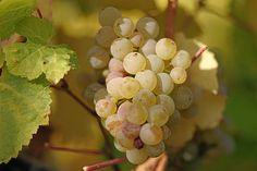 Aspecto de un racimo de la variedad Vitis vinifera de Riesling en el Rheingau, Alemania.