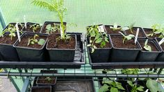 Potted up some cucumber, cucamelon and tomato seedlings the other day on the #allotment. #pottingshed #greenhouse