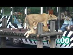 #JAPAN #SWD #GREEN2STAY Thankyou,(Under 3 Min Video) Tama zoo's Lion Bus pulls in crowds on last day  Visitors to a Tokyo zoo are enjoying their final rides on a popular bus that gives them a close-up view of lions. Tama Zoological Park Lion Bus