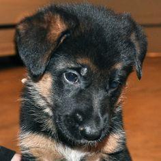 german shepherd puppies - Google Search