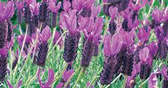 Otto Quast Spanish lavender (lavandla stoechas) UCD Allstar - showiest of all lavendars, loves sun, attracts butterflies and beneficial insects, ct back to remove old flowers and keep compact