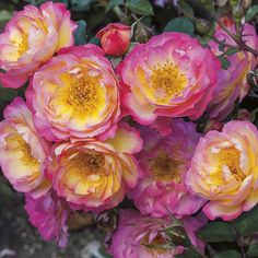'Rainbow Happy Trails' | Shrub rose. Bred by Tom Carruth (United States, 2014).