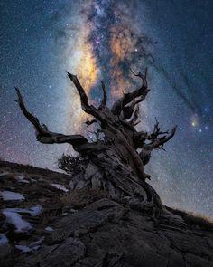 Bristle Cone Pine tree