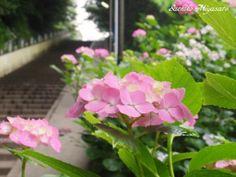 ajisai rainy seazon Japan 富岡八幡宮 参道脇の紫陽花