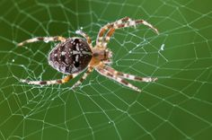 Besuch auf dem Balkon ... . . . #spinne #balkon #spider #spiderweb #arachnid #web #spiders #macro #spidersofinstagram #closeup #nikon #nofilter Instagram Posts, Animals, Painting, Spiders, Balcony, Animales, Animaux, Painting Art, Paintings