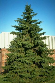 Black Hills Spruce is a popular evergreen accent tree for northern landscapes. Black Hills Spruce is an extremely tough, rugged, dense, and cold-hardy tree making it a perfect choice for windbreaks. The formal, pyramidal shape is familiar in the landscape adding a native look, as well as creating a focal point in the lawn. This tree is very similar to Colorado Blue Spruce; the major difference would be the darker green needle color, and a denser somewhat narrower habit of growth.
