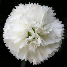 ~Carnations