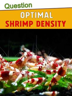 How Many Shrimp Can I Have in My Tank? Optimal density Shrimp Tank, I Can, Cool Pictures, Canning, Home Canning, Conservation
