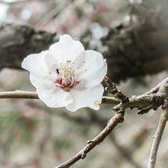 #flowers #flower  #beautiful #pretty #plants #blossom #spring #flowerstagram #flowersofinstagram  #flowerslovers #floweroftheday #sakura #桜 #さくら  #ig_flowers #superb_flowers #insta_pick_blossoms #bns_flowers #ip_blossoms #myheartinshots #lovely_flowergarden #bns_flowers #ip_blossoms #macro #macrophotography
