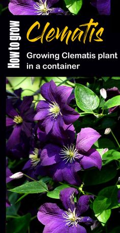 How to grow Clematis vine | Growing Clematis in a container | Care Clematis Plants Outdoor Flowering Plants, Perennial Flowering Vines, Clematis Plants, Clematis Vine, Grow Turmeric, House Plant Care, House Plants, Gladiolus Bulbs, New Vines