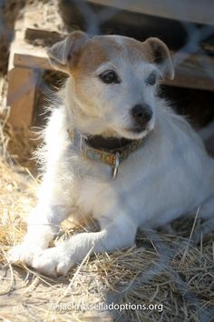 Today's featured Jack Russell rescue for adoption, foster or sponsorship - Lelah!
