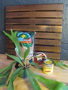 If rare, unusual, or plants that make a statement cause you heart to flutter, then the Platycerium is for you. Click on the link and read to learn how to properly mount and care for a staghorn fern.