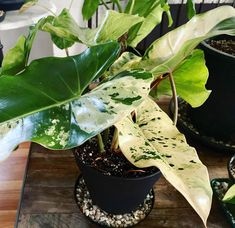 """Lani and Nick's Jungle on Instagram: """"What a gorgeous leaves, all the splashes are different 🥰🌿🌱#philodendronilsemaniivariegated #philodendronilsemanii #variegatedphilodendron…"""" Pink Drive, Variegated Plants, Elephant Ears, New Earth, Tropical Plants, Horticulture, Botany, Different, House Plants"""