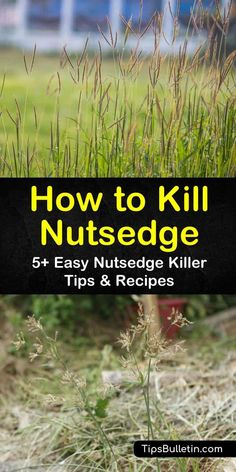 Learn how to eradicate yellow nutsedge by removing the weed, tubers, and nutlets completely from the ground and discarding. Kill purple nutsedge with herbicide or by spreading sugar in the spring. Dandelion Weed, Lawn Fertilizer, Weed Seeds, Weed Killer, Grass Seed, Weed Control, Garden Care, Gardening Tips, Vegetable Gardening