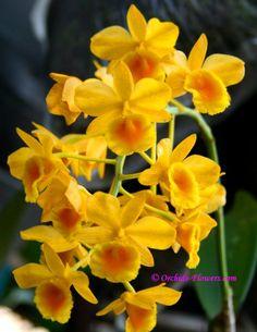 Dendrobium chrysotoxum 1847 Photographer Kitisak