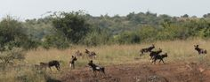 Wild dogs gathering forces before they head off.  22.7.12 at Loisaba Wilderness, Laikipia, Kenya  https://www.facebook.com/media/set/?set=a.10151341016480008.813729.10150107915730008=3