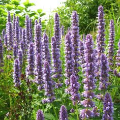 Agastache 'Blue Fortune' - large plant for back of bed, 3-4 ft tall, blooms July-Sept, semi drought tolerant, full sun