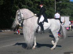 Garrido an Andalusian Stallion... Photo by Mylessa Nickelson...