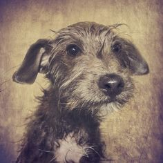 Dog Accessories To Make Chester I Love Dogs, Cute Dogs, Animals And Pets, Cute Animals, Scruffy Dogs, Dog Illustration, Illustrations, Lurcher, Vintage Dog