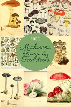 A fabulous collection of vintage copyright-free mushroom charts and mushroom illustrations. These fungi and toadstools would look great in any kitchen. Mushroom Paint, Mushroom Drawing, Picture Boxes, Print Pictures, Free Pictures, Botanical Prints, Fungi, Vintage Images, Printable Art