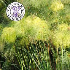 Rare Egyptian Paper Reed, Cyperus papyrus Perennial Grass -  produces the original paper made from the crushed and pulped stems. Easy to grow.
