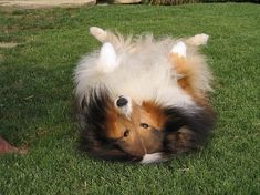 beautiful, cute, dog, pet, sheltie, shetland sheepdog