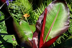 Banana – Ornamental [Red] Ensette maurelii This is a tall sub-tropical banana wh… - tropical garden ideas Tropical Plants Uk, Colorful Plants, Tropical Landscaping, Exotic Plants, Tropical Leaves, Tropical Gardens, Fast Growing Plants, Growing Seeds, Trees To Plant