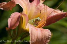 Check out Zen Frog | Four B's to daylily garden zen | Red Dirt Ramblings®