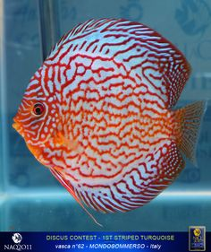 Image from http://www.napoliaquatica.com/images/stories/reportage2011/DiscusContest2011/01striped.jpg.