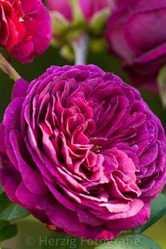 Rosa Falstaff - Alte Rose