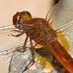 dragonfly dragonflies insect animal wild nature 18 The Beauty Behind the Ancient Dragonfly Dragonfly Life Cycle, Dragonfly Insect, Nature Images, Nature Pictures, Animal Pictures, Adder Snake, Pictures Of Insects, Gossamer Wings, Ancient Myths