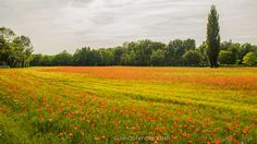 Amapola: pintura de un caprichoso campo de flores