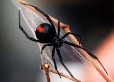 Image copyright Getty Images Image caption Redback spider bites are relatively common in Australia, with around people bitten each year A Australian tradesman has been bitten by a venomous spider on the penis for a second time. The man was usin Australian Spider, Australian Men, Australian Animals, Redback Spider, Tak Tak, Spiders And Snakes, Black Widow Spider, Black Widow Web, Itsy Bitsy Spider