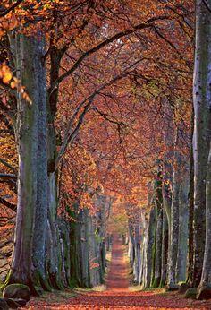 Beech trees near Scotlands Drummond Castle in the fall.