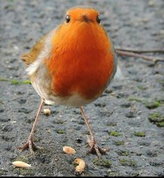 Wee Robin feeding