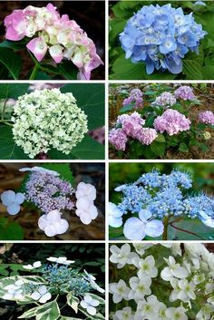Hydrangea - TOP 10 Tips on How to Plant, Grow & Care Hydrangeas are one of the most popular perennial garden shrubs, mostly due to their mesmerizing big flowers in pink, white ot blue color and nice foliage, even in autumn. They add a vintage charm to any Garden Shrubs, Shade Garden, Lawn And Garden, Big Flowers, Beautiful Flowers, Outdoor Plants, Outdoor Gardens, Hydrangea Care, Care Of Hydrangeas