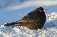 Min favorittfugl, Svarttrosten :)