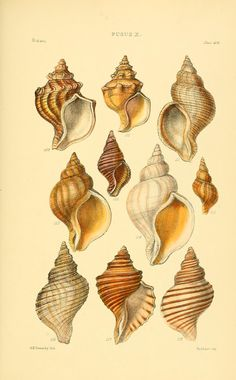 Fusus. Thesaurus conchyliorum, or, Monographs of genera of shells v. 4 plates (1880) London :Sowerby ...,1847-1887. Biodiversitylibrary. Biodivlibrary. BHL. Biodiversity Heritage Library