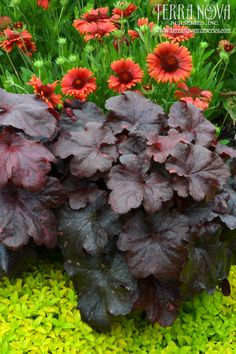 Heuchera 'Galaxy' - To infinity and beyond! A brand new variegated creation from Terra Nova. Very large, thick leathery foliage, very heavily variegated with spots of color on a very dark background. Leaves emerge a startling bright red, and turn darker as they age, the variegation on the other hand gets lighter colored and more noticeable as the season progresses. 'Galaxy' will love heat and humidity, but performs very well in cool climates too.