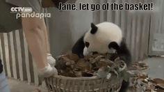 This Video Proves Pandas Are Basically Just Big Adorable Jerks Panda Gif, Panda Funny, Cute Panda, Panda Bear, Funny Animal Videos, Videos Funny, Funny Animals, Cute Animals, Funny Gifs