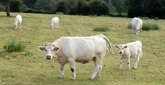 Extensive livestock systems can contribute to the management and maintenance of ecosystems and may increase biodiversity. Climate change is an additional pressure to the sustainability (e. productivity, health) of livestock systems. Livestock, Photo Illustration, Cattle, Climate Change, 2 In, Sustainability, France, Creative, Animals